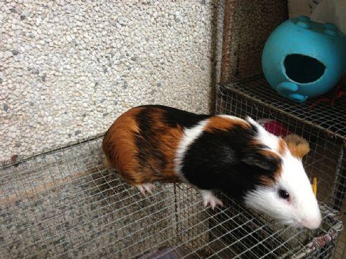 同学家的荷兰猪(可爱)