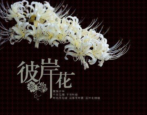 彼岸花-贴图区2011-论坛-小荷作文网