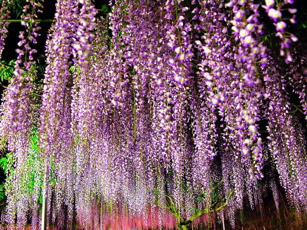 紫藤萝花,真滴漂亮死了.-贴图区2011-论坛-小荷作文网